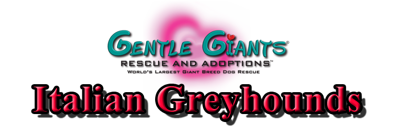 Italian Greyhounds at Gentle Giants Rescue and Adoptions